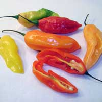 Peruvian Aji - Chili Peppers