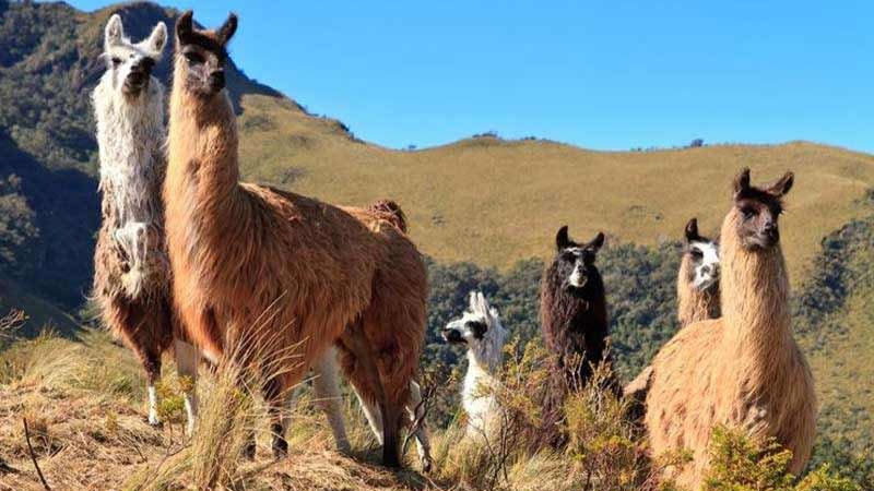 national-alpaca-day-celebration-peru