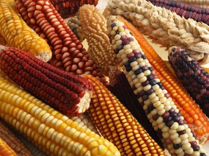 Peru grwos a wide variety of corn, but still imports maize from the US to meet the demand of its poultry industry