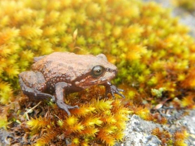 New frog species discovered in the Peruvian Andes